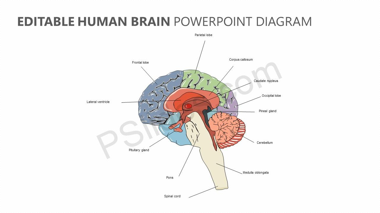 Editable Human Brain PowerPoint Diagram
