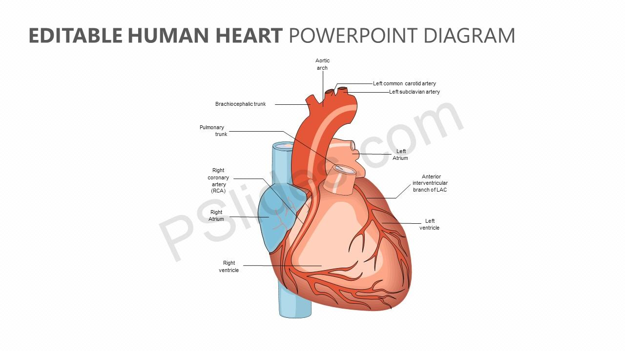 Human Heart Anatomy Powerpoint - Best Clipart Gallery •