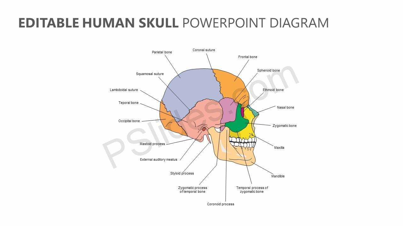 Editable Human Skull PowerPoint Diagram