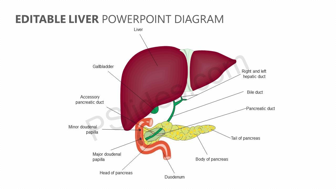 editable liver powerpoint diagram - pslides