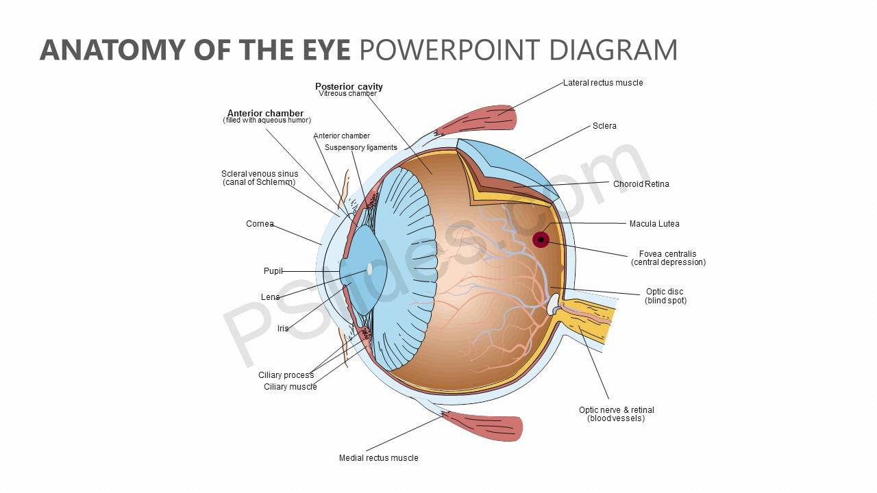Anatomy of the Eye PowerPoint Diagram