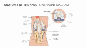 Anatomy of the Knee PowerPoint Diagram