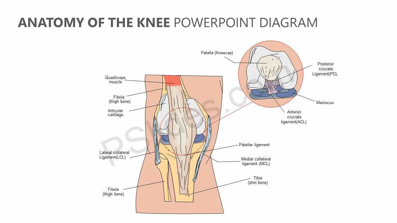 Anatomy-of-the-Knee-PowerPoint-Diagram