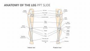 Anatomy of the Leg PPT Slide