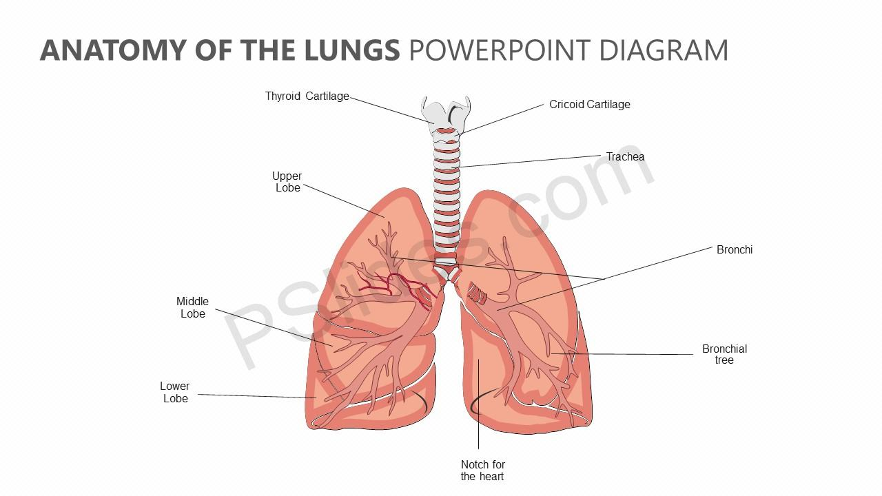 Anatomy of the Lungs PowerPoint Diagram - PSlides on costal surface of lung, lung nodules, lung drawing, mediastinal surface of lung, clara cell, lung lobes, lung infection, conducting zone, lung model, respiratory bronchiole, bronchopulmonary segment, lung structure, lung hilum, base of lung, borders of lung, apex of lung, alveolar duct, horizontal fissure of right lung, lingula of left lung, lung cartoon, lung cross section, lung function, lung health, lung segments, lung apex, lung animation, lung disease, root of the lung, oblique fissure, lung force, cardiac notch, lung bleb, terminal bronchiole, hilum of lung, lung tree birds, right lung, lung mri, lung volumes, pulmonary alveolus,