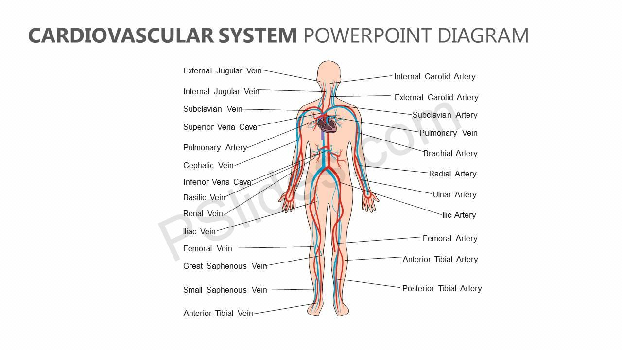 Cardiovascular-System-PowerPoint-Diagram-Slide1