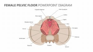 Female Pelvic Floor PowerPoint Diagram