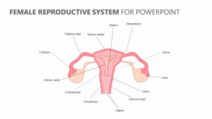 Female Reproductive System for PowerPoint