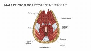 Male Pelvic Floor PowerPoint Diagram