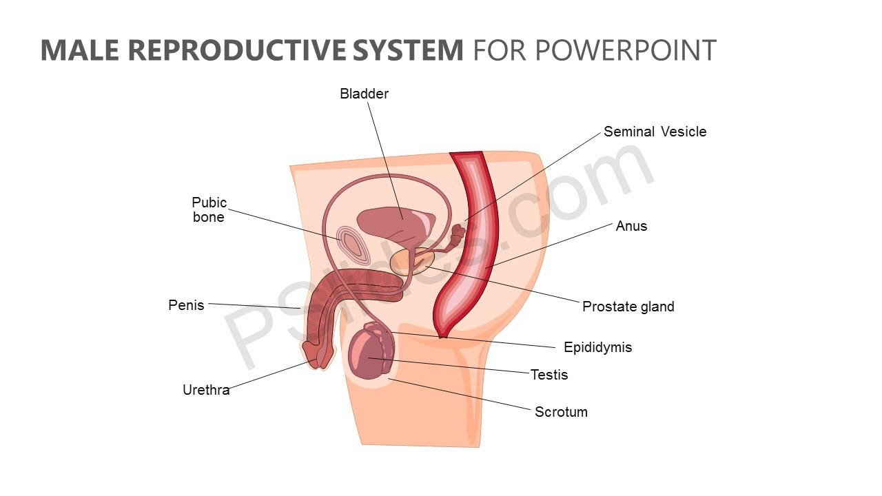 Male Reproductive System For Powerpoint Pslides
