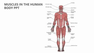 Muscles in the Human Body PPT