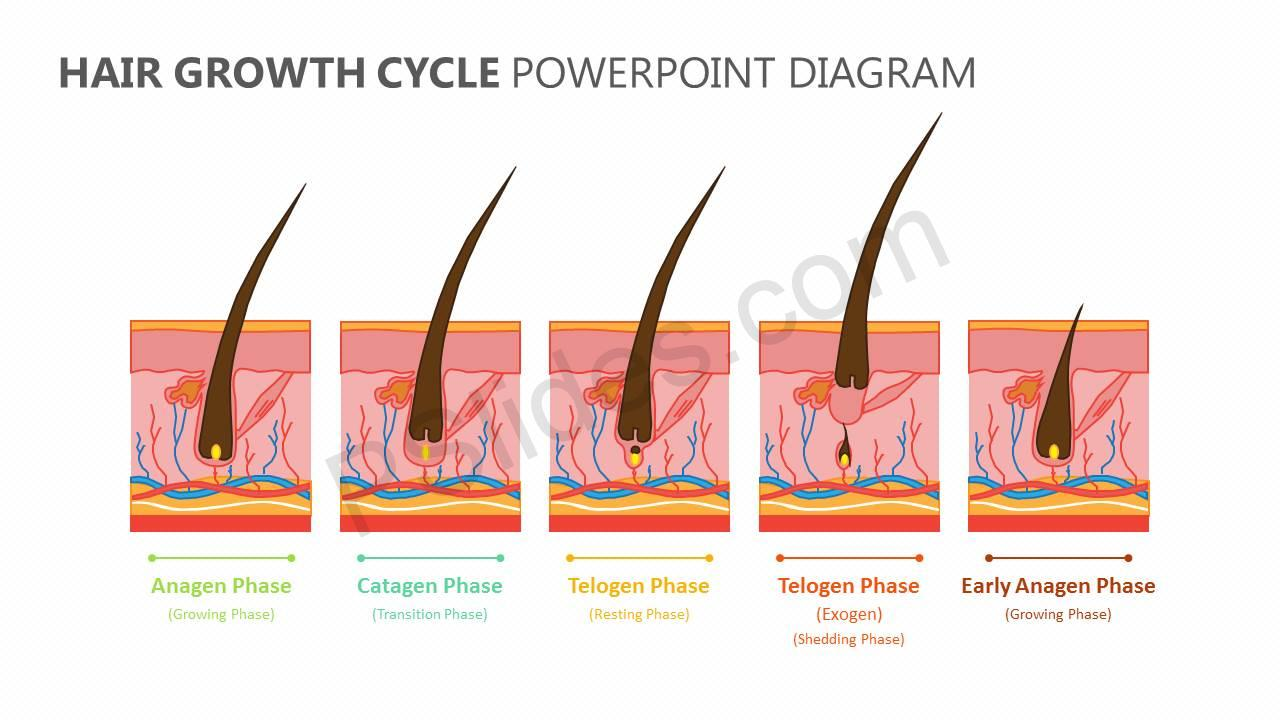 Hair-Growth-Cycle-PowerPoint-Diagram-Slide1