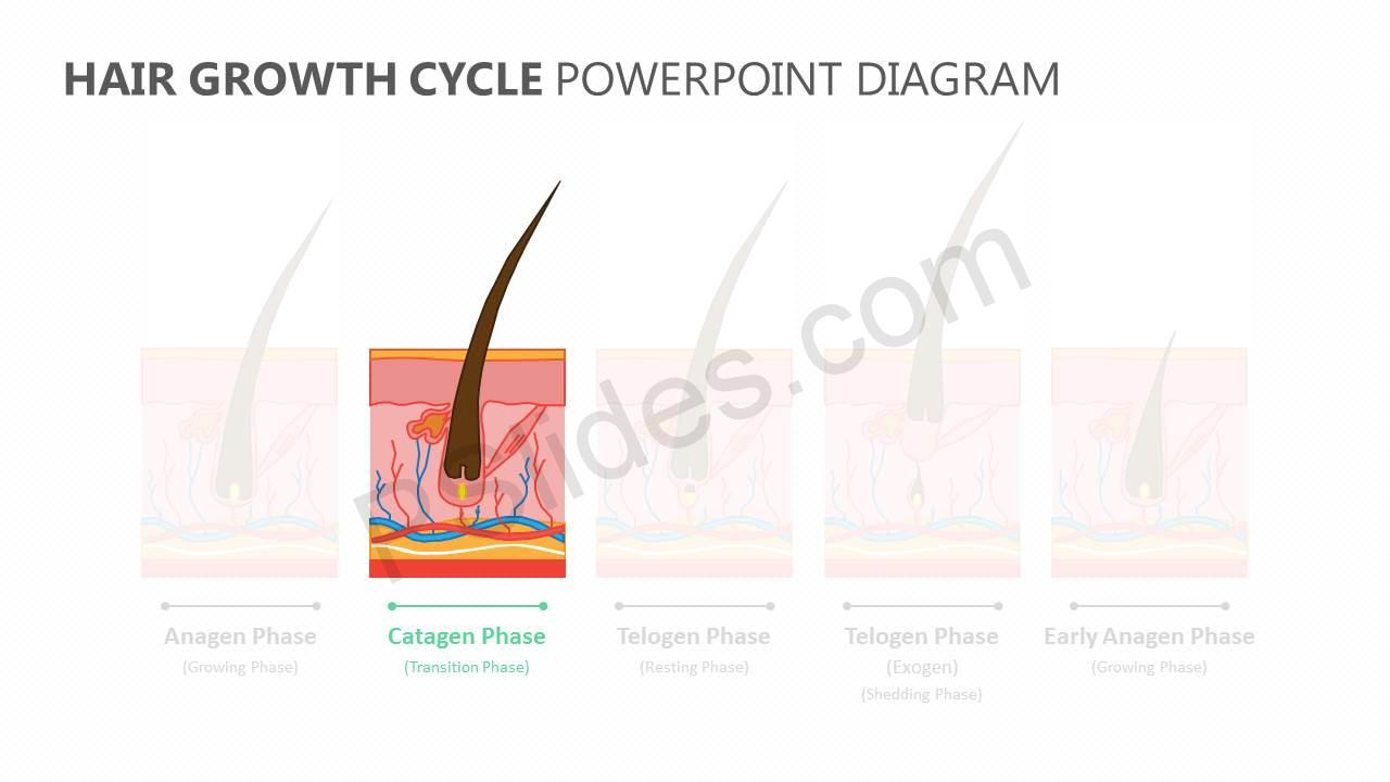 Hair-Growth-Cycle-PowerPoint-Diagram-Slide2