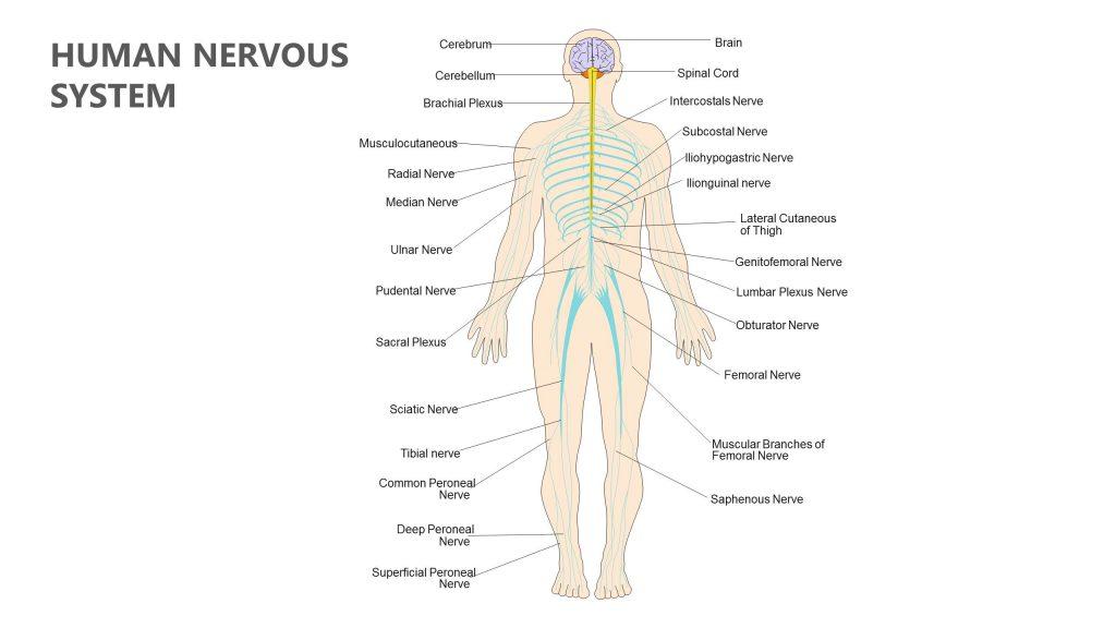 Human Nervous System Powerpoint Diagram Pslides