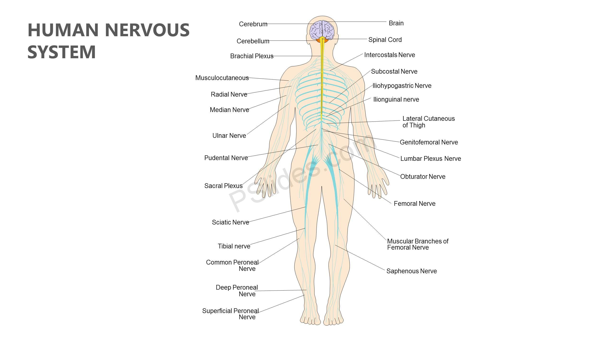 Human-Nervous-System-PowerPoint-Diagram-Slide1