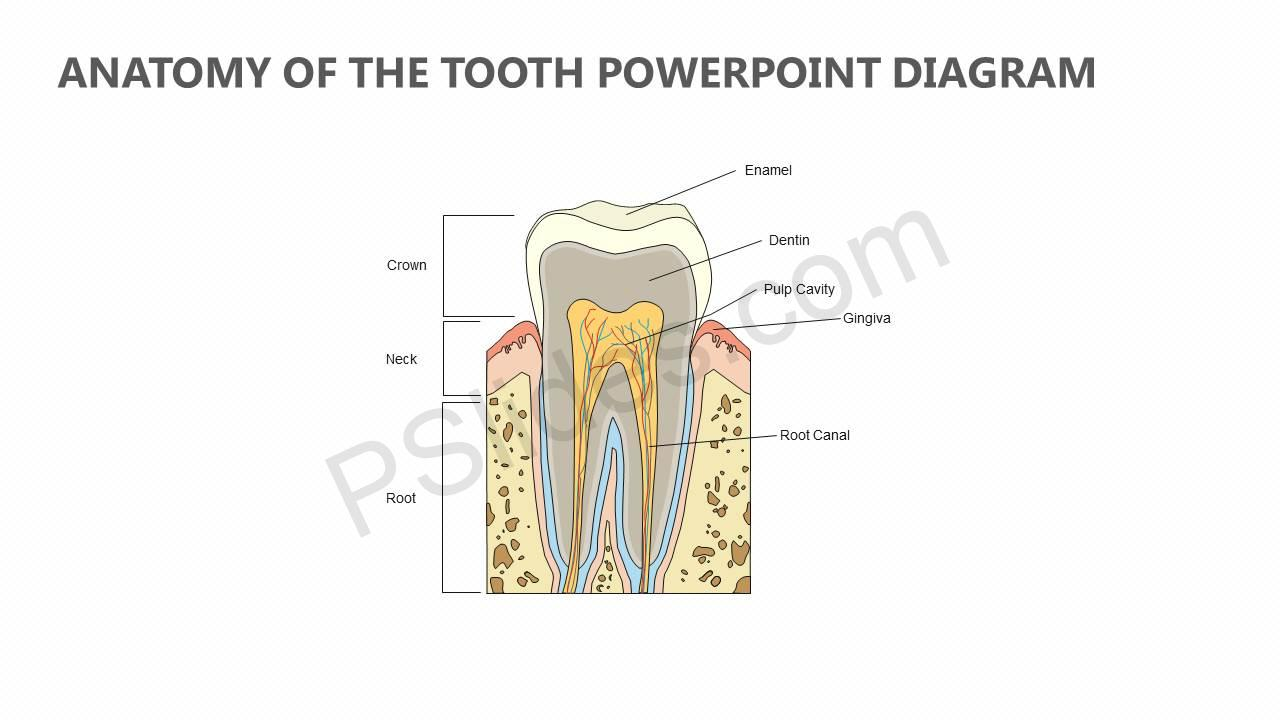 Anatomy-of-the-Tooth-PowerPoint-Diagram-Slide1