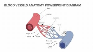 Blood Vessels Anatomy PowerPoint Diagram