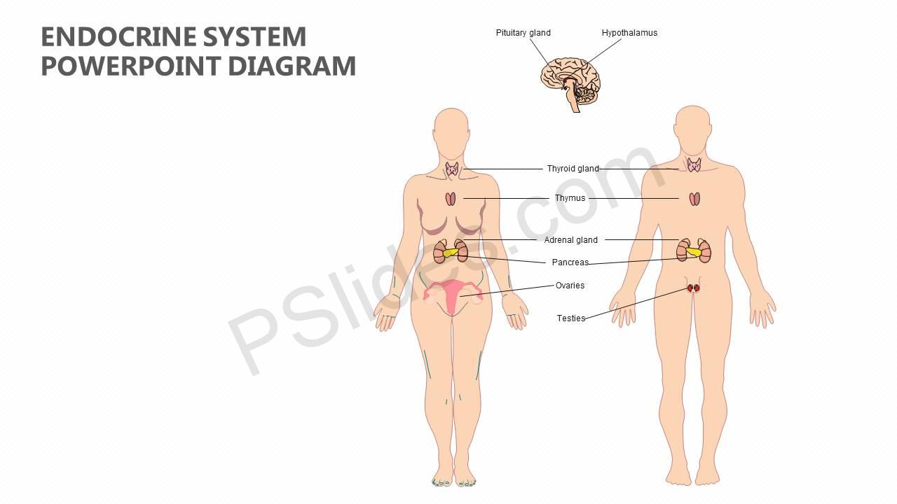 Endocrine System Powerpoint Diagram