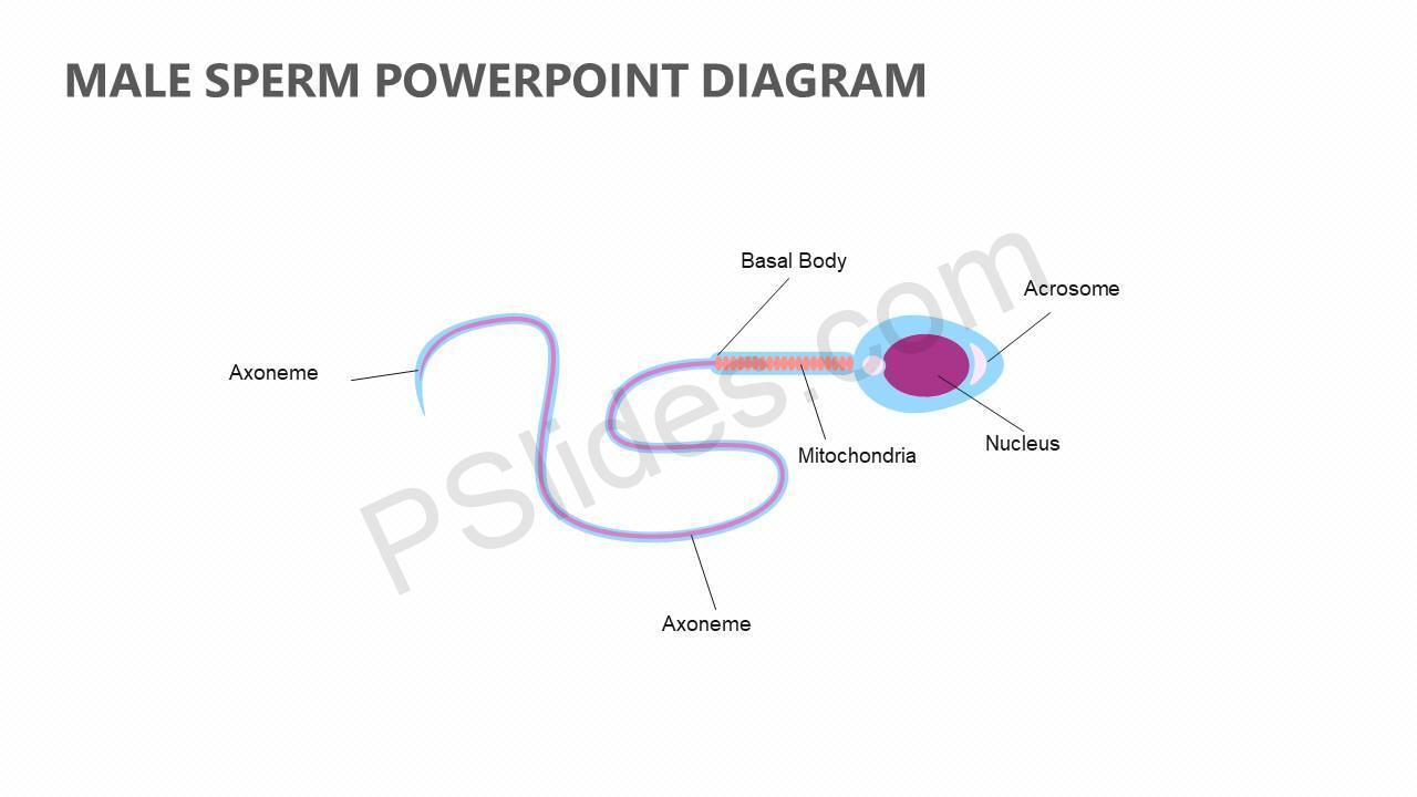 Male-Sperm-PowerPoint-Diagram-Slide1