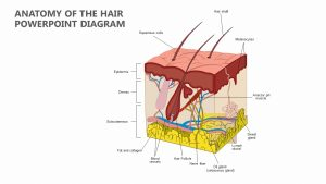 Anatomy of the Hair PowerPoint Diagram