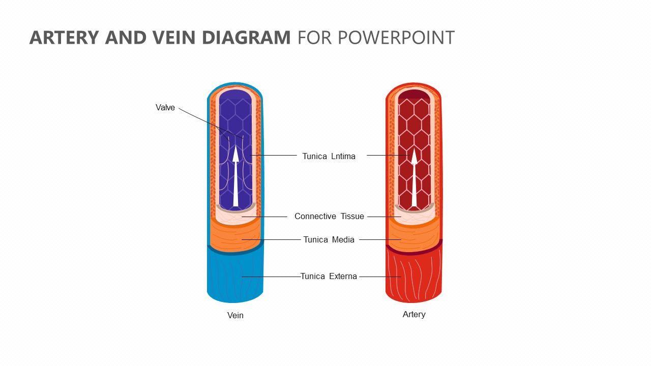 Artery And Vein Diagram For Powerpoint Pslides