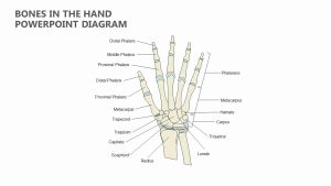 Bones in the Hand PowerPoint Diagram