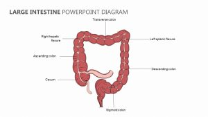 Large Intestine PowerPoint Diagram