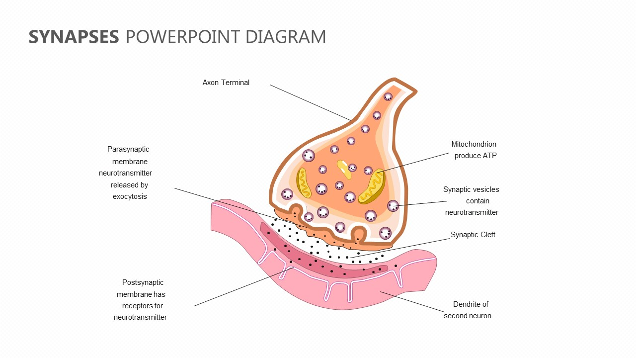 Synapses PowerPoint Diagram