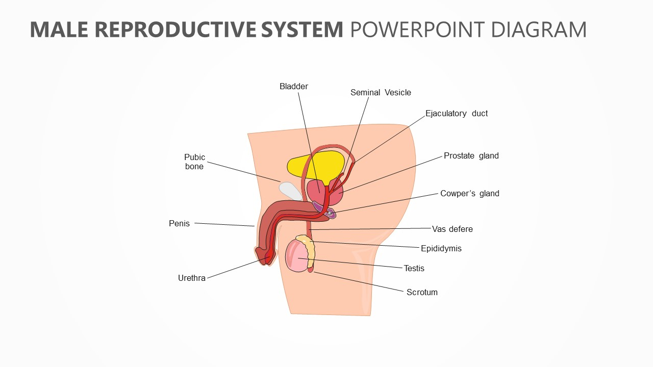 Male Reproductuve System PowerPoint Diagram