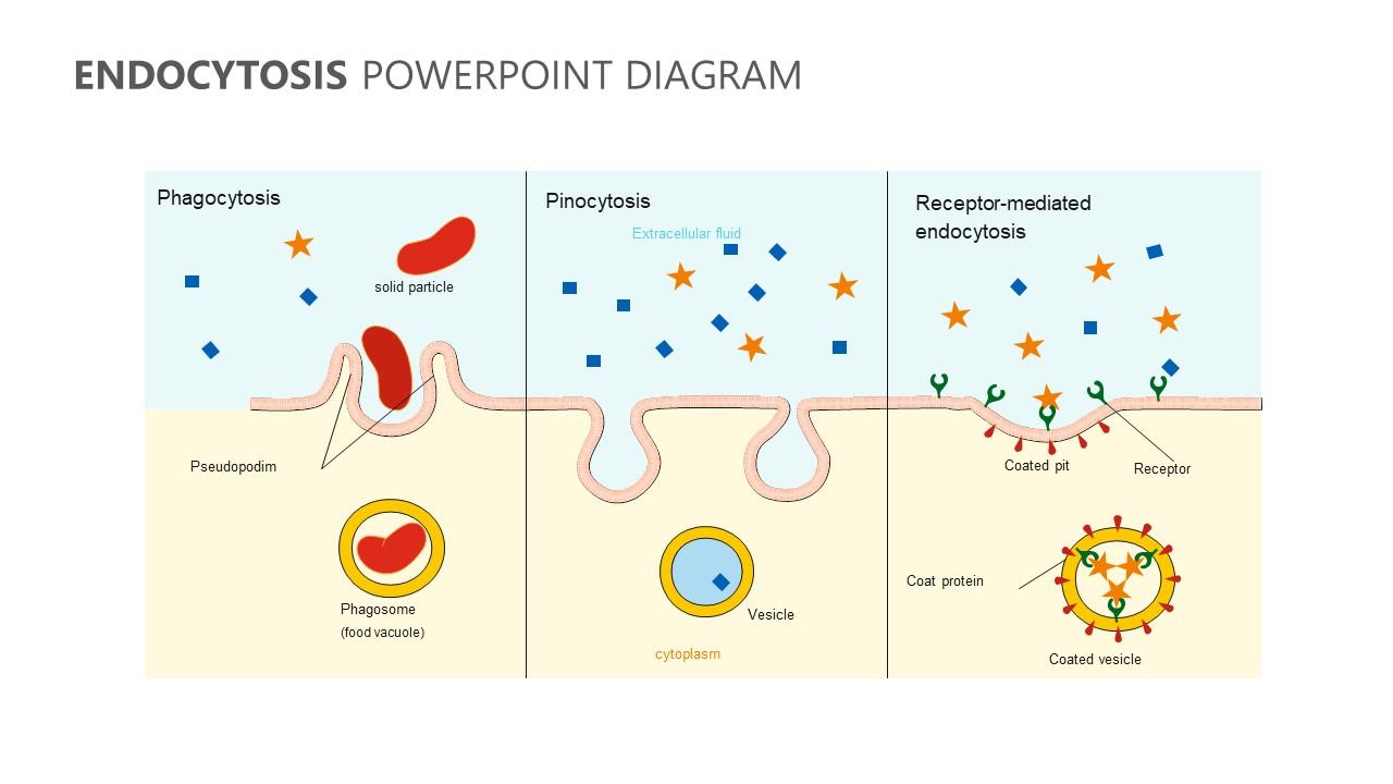 Endocytosis PowerPoint Diagram