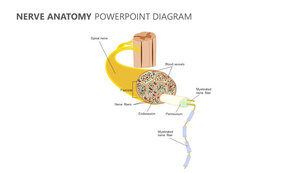 Nerve Anatomy PowerPoint Diagram