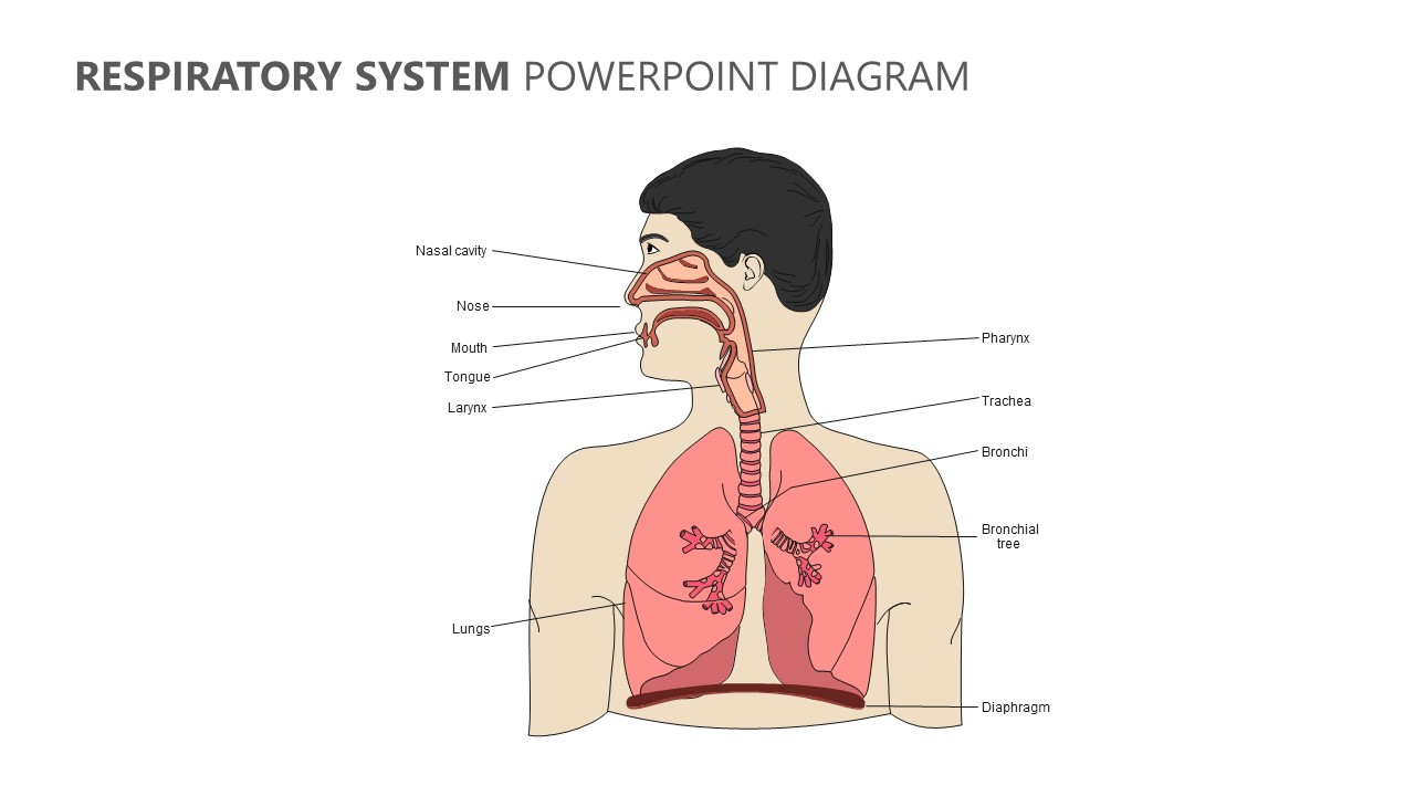 Respiratory System Powerpoint Diagram Pslides